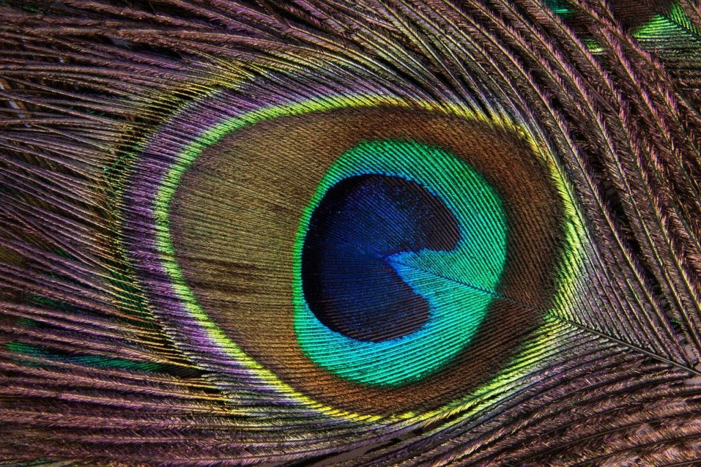 peacock feather, peacock, structure