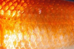 scale, fish scales, goldfish