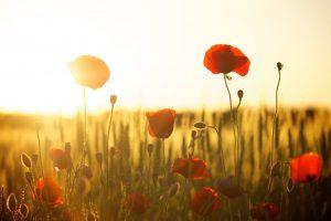 poppies, field, sunset